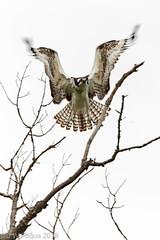 Osprey (jwfuqua-photography) Tags: osprey nature birds pennsylvania birdsofprey peacevalleynaturecenter jwfuquaphotography buckscountyparks buckscounty jerrywfuqua