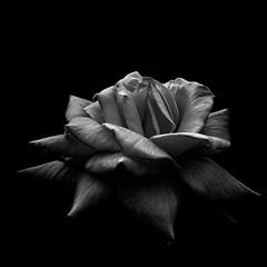 Rose (Pat Kelleher) Tags: black bw blackandwhite blancoynegro flower sonyrx100 sony