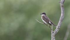 Tyran tritri // Eastern Kingbird (Alexandre Légaré) Tags: tyran tritri eastern kingbird tyrannus oiseau bird animal wildlife nature nikon d7500