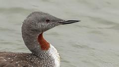 Red-throated Loon (Bob Gunderson) Tags: birds california gaviastellata loons northerncalifornia peninsula pillarpoint redthroatedloon sanmateocounty swimmingbirdsother