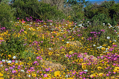 Spring flowers West coast 2018 (John Cosnett) Tags: flowers wild outdoor spring colors nature southafrica westcoast africa wildflowers coastal