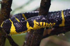 Eye of the serpent. (Jon.Ong) Tags: sonya7r sel70200g snake reptile serpent mangrovesnake