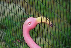 Boundaries and Beaks (MTSOfan) Tags: flamingo plastic fence happyfencefriday stuck boundary barrier beak opening otherside problem
