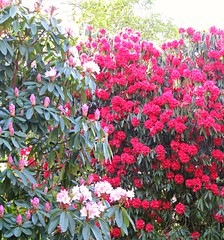 Mixed Pink Rhododendrons! ('cosmicgirl1960' NEW CANON CAMERA) Tags: trees flowers worldflowers parks gardens nature green lanhydrock nt cornwall yabbadabbadoo