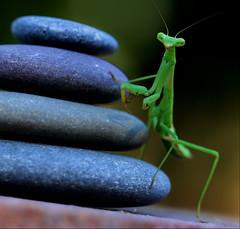 Meditation Stones (dianne_stankiewicz) Tags: zen rocks mantis nature wildlife stones hmm macromondays meditation insect garden rock