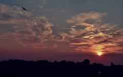 In flight at sunrise (martinw019) Tags: bird hungary marshland