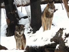 """Wolf family"" (toni.abruzzese) Tags: lupo wolf tiere animali animals wolffamily famigliadilupi wolffamilie"