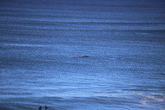 IMG_3631 (gervo1865_2 - LJ Gervasoni) Tags: surfing with whales lady bay warrnambool victoria 2017 ocean sea water waves coast coastal marine wildlife sealife blue photographerljgervasoni