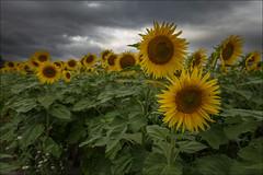 Girasoles (Jose Cantorna) Tags: sunflower girasol campo cielo nubes sky cloud nikon d610