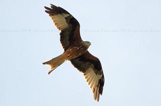 Red Kite, Milan royal, Rode Wouw (Milvus milvus) - Aubel (BELGIUM)