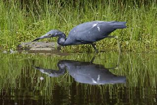 Immature Little Blue Heron-4
