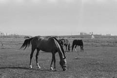Just Horses (Grazing in September) (nonnull) Tags: podolsk moscowregion russia equestrianclub blackandwhite noiretblanc filmphoto filmphotography monochrome monotone filmisnotdead filmtype135 film analogphotography bnwmood bnwfilm bnw bw bwfp expiredfilm kodak grain grayscale nikonlitetouchzoom120edaf trix400 animal ru kodakprofessionaltrix400 sredafilmlab pakonf235 barhatovcom horses россия московскаяобласть фотопленка просрочка чб пленка чернобелое mood чбфото лошади 2018 настроение 400tx