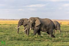 20180806IMG_7652.jpg (jmcenern) Tags: africa elephant amboselinationalpark kenya
