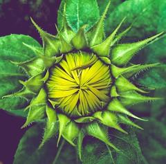 Potentially... (BMZYGrace) Tags: potential dahlia bud flower growing plant