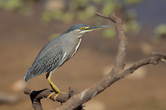 Striated Heron (Greg Lavaty Photography) Tags: striatedheron butoridesstriata brazil august matogrosso pantanal wetlands outdoors bird nature wildlife
