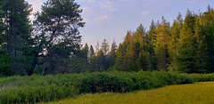 Standing in the Lake (rve13) Tags: wetland lake spiraeadouglasii hardhack steeplebush galaxys9 sunset cloudsstormssunsetssunrises