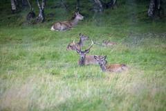 Deer (G E Nilsen) Tags: nordland norway no grass deer northernnorway norwegiancoast