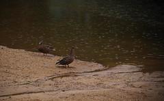 Rain? What rain? (Violet aka vbd) Tags: pentax k1ii vbd hdpentaxda55300mmf4563edplmwrre nh newhampshire ducks newengland rain mallards handheld 2018 summer2018 lucaspond shoreline manualexposure birds raindrops northwoodnh