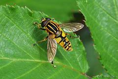Hoverfly (Mike Slade.) Tags: hoverfly stovercountrypark newtonabbot devon england sigma105mmmacro ©mikeslade