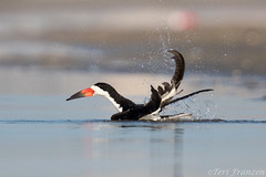 Splish Splash (tkfranzen) Tags: blackskimmer rynchopsniger nickersonbeach wildbird wildanimalbehavior tnclivenature animalplanet
