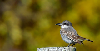 Gray Kingbird  (Rare)