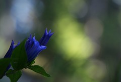 Willow gentian (annazelei) Tags: plant flora flower natural naturaleza natur naturephoto gentiana asclepiadea botanic botanical blossom flowering green blue blau sommer alps alpin bokeh macro flowers light gentianaceae plantae herba herbal