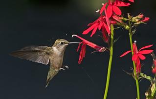 Ruby-throated Hummingbird: Archilochus colubris