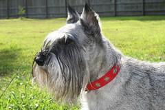 Sunni (Alpen Schatz - Mary Dawn DeBriae) Tags: happy customer alpenschatz bernesemountaindog dog swissdogcolar hunterswisscrosscollar doggles stein