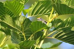 Chestnut-sided Warbler (astro/nature guy) Tags: illinoisbird bird urbanabird crystallakeparkbird crystallakepark warbler chestnutsidedwarbler
