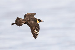 pomarine skua (ianbollen) Tags: england cleveland southgare skua pomarine flight