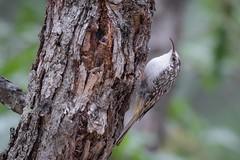 Wall Crawler (gseloff) Tags: browncreeper bird wildlife nature animal newmexico lincolnnationalforest gseloff