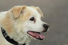 SPOOKIE (K.Verhulst) Tags: spookie hond dog pet huisdier ommoordseveld coth coth5