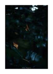 2018/8/5 - 12/18 photo by shin ikegami. - SONY ILCE‑7M2 / New Jupiter 3+ 1.5/50 L39/M (shin ikegami) Tags: マクロ macro 井の頭公園 吉祥寺 summer 夏 sony ilce7m2 sonyilce7m2 a7ii 50mm lomography lomoartlens newjupiter3 tokyo sonycamera photo photographer 単焦点 iso800 ndfilter light shadow 自然 nature 玉ボケ bokeh depthoffield naturephotography art photography japan earth asia