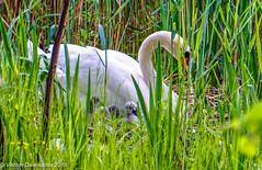 Baby Boom in the Wild, Djurgarden, Stockholm, Sweden (vdwarkadas) Tags: swan cygnets grass birds youngones waldemarsudde stockholm sweden sony sonya6000 sonyilce6000