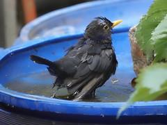 bathing bird (Håkan Jylhä (Thanks for +600000 views)) Tags: wet bird bathing black badande fågel svart håkan jylhä blöt sony rx10 sverige sweden