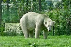 Felix - Nanu - Eisbären - AquaZoo Friesland/NL (ElaNuernberg) Tags: eisbärfelix eisbärnanu aquazoofriesland eisbär polarbear ijsbeer isbjorn ourspolaire orsopolare ursusmaritimus niedźwiedźpolarny jääkaru zoo zooanimals zootiere