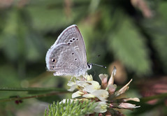 Reakirt's Blue (Hemiargus isola) (Ron Wolf) Tags: hemiargusisola lepidoptera lycaenidae nationalpark reakirtsblue rockymountainnationalpark rockymountains butterfly insect montane nature wildlife colorado