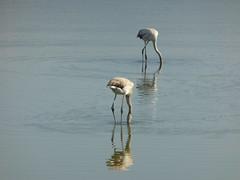 Αλυκή Αιγίου-Υδροβιότοπος!!  P1060291 (amalia_mar) Tags: αλυκήαιγίου υδροβιότοποσ αιγιάλεια αχαϊα ελλάδα πουλιά φλαμίγκο πανίδα θάλασσα νερό φθινόπωρο αντανακλάσεισ