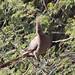 Corythaixoides concolor (Grey Go-away Bird)