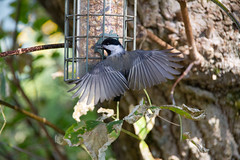 Spread your tiny wings and fly away :-) (Sharon's Shotz) Tags: canada canon7d canoneos7d cottagelife northfrontenac northofseven ontario plevna chickadee sigma12200 birdfeeder avian