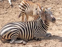 grant zebra Burgerszoo JN6A8589 (j.a.kok) Tags: zebra grantzebra animal africa afrika mammal zoogdier dier herbivore hoefdier burgerszoo burgerzoo