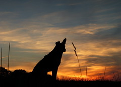 Warten auf die Sonne (isajachevalier) Tags: hund dog tier haustier sonnenaufgang morgen morgenrot landschaft mischling sachsen panasonicdmcfz150