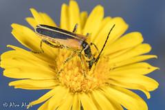 Chauliognathus opacus (aliceinwl1) Tags: az arizona arizona2018 arthropod arthropoda cantharidae chauliognathinae chauliognathini chauliognathus chauliognathusopacus cochisecounty coleoptera elateroidea insect insecta polyphaga serieselateriformia soldierbeetle beetle locpublic opacus viseveryone