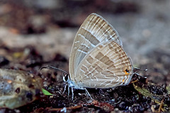 Jamides celeno - the Common Cerulean (BugsAlive) Tags: butterfly mariposa papillon farfalla 蝴蝶 schmetterling бабочка conbướm ผีเสื้อ animal outdoor insects insect lepidoptera macro nature lycaenidae jamidesceleno commoncerulean polyommatinae wildlife doisutheppuinp chiangmai ผีเสื้อในประเทศไทย liveinsects thailand thailandbutterflies nikon105mm bugsalive ผีเสื้อฟ้าวาวสีต่างฤดู
