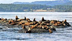 Sea Lions at Race Rocks (ofarrl) Tags: canada vancouverisland britishcolumbia juandefucastrait salishsea pacific northwest racerocks sealion marinemammal wildlife