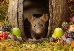 wild house mouse in log pile  with fruits and berry's (1) (Simon Dell Photography) Tags: wild george log pile house mouse nature garden animal rodent cute fun funny summer fruits berries berrys display lots bounty moss covered simon dell photography sheffield 2018 aug cool awesome countryfile ears close up high detail cards design