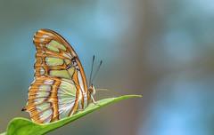 Siproeta stelenes (Torok_Bea) Tags: siproeta stelenes siproetastelenes butterfly pillangó lepke natur nature nikon nikond7200 d7200 sigma sigma105 malachite malachitebutterfly