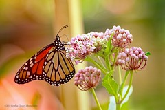 Monarch on Swamp Milkweed (Cyn~) Tags: monarch butterfly milkweed swampmilkweed