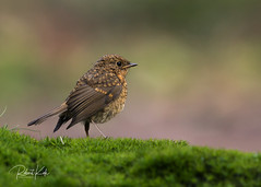 Young Robin on the lookout! (Jambo53 (catching up)) Tags: roodborstje robin forest bos nikond800 closeup nature wildlife netherlands nederland vogel bird explore twinkle