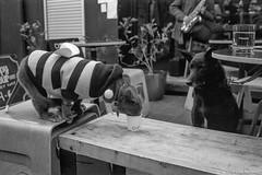 envy, Manly Village, 2018  #416 (lynnb's snaps) Tags: 35mm cv21mmf4ltm ilfordfp4 leicaiiic manly xtol bw blackandwhite cafe cats film fp4 street 2018 barnack rangefinderphotography kodakxtoldeveloper cat dog cute catsanddogs costume blind manlyvillage drinking watching sydney australia bianconegro blackwhite bianconero biancoenero blancoynegro noiretblanc schwarzweis monochrome ishootfilm